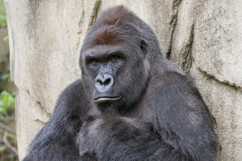 Seventeen year old Harambe the gorilla was shot and killed on Saturday, May 28, following a child crawling into the zoo's gorilla enclosure.